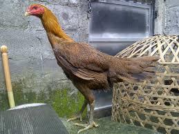 ayam perawan